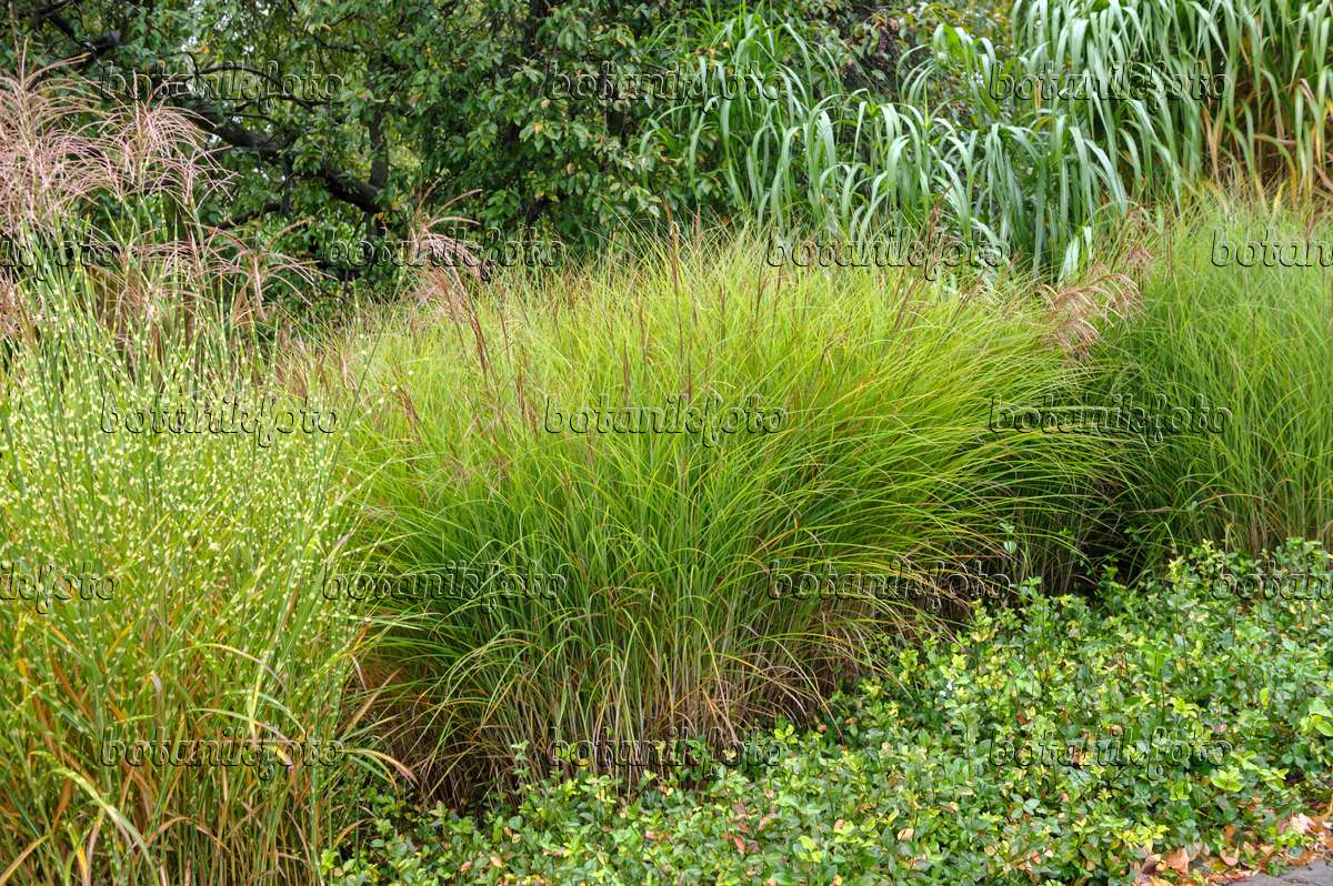 image chinese silver grass miscanthus sinensis 39 gracillimus 39 and miscanthus sinensis 39 strictus. Black Bedroom Furniture Sets. Home Design Ideas