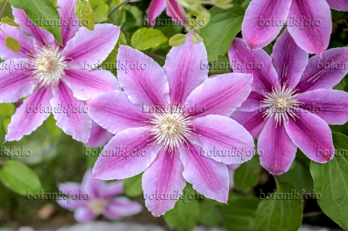 image clematis clematis dr ruppel 547113 images and videos of plants and gardens. Black Bedroom Furniture Sets. Home Design Ideas