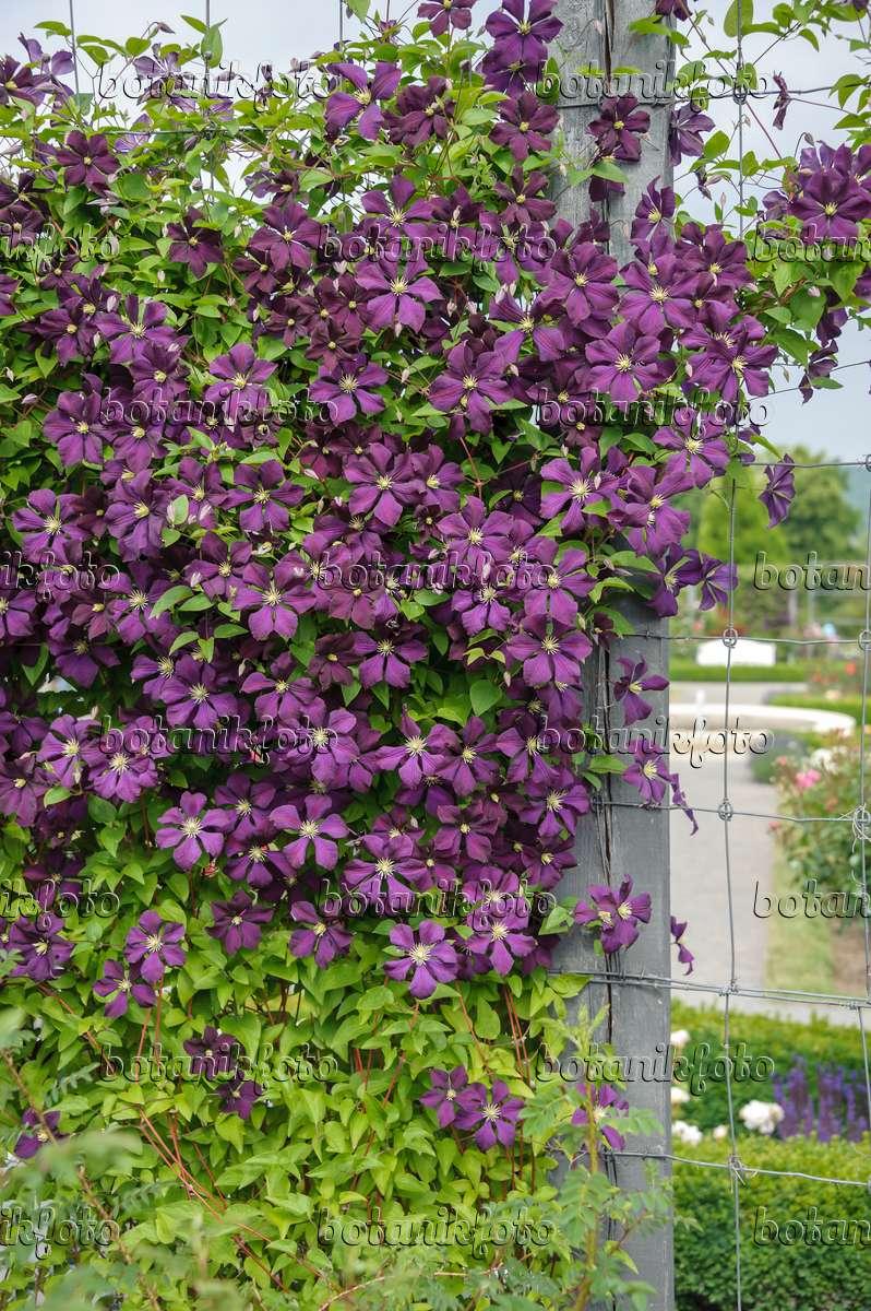image clematis clematis etoile violette 558077. Black Bedroom Furniture Sets. Home Design Ideas