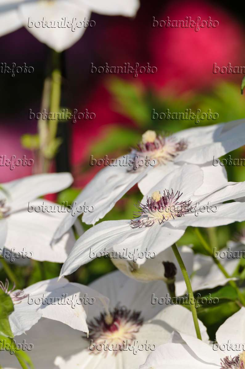 image clematis clematis miss bateman 496269 images and videos of plants and gardens. Black Bedroom Furniture Sets. Home Design Ideas
