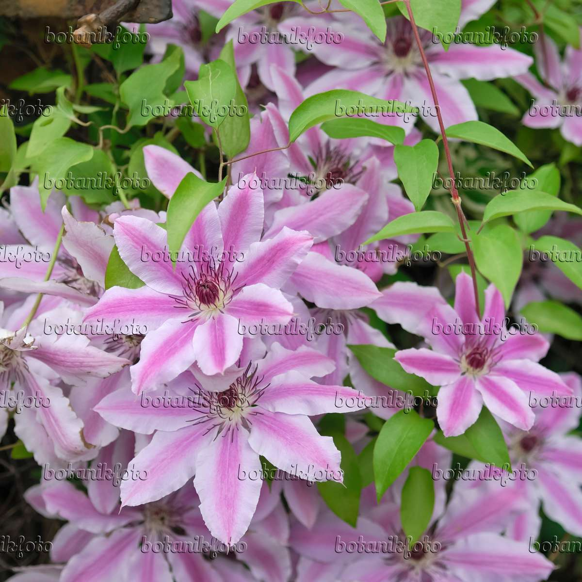 image clematis clematis nelly moser 471377 images and videos of plants and gardens. Black Bedroom Furniture Sets. Home Design Ideas
