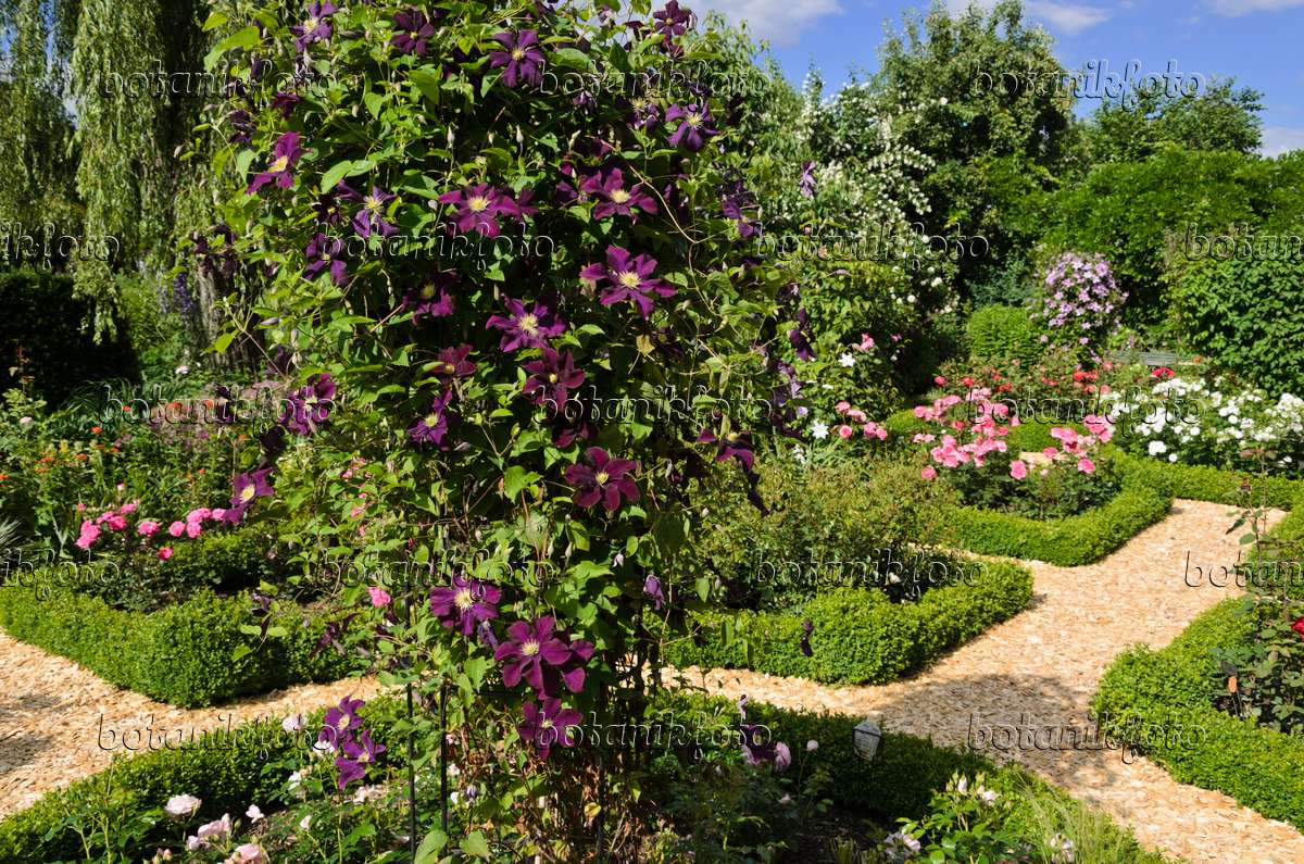 534052   Clematis (Clematis) And Roses (Rosa) In A Rose Garden
