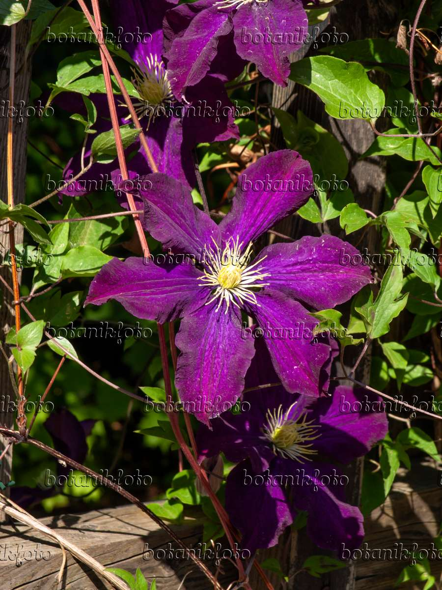 image clematis clematis warszawska nike 460134 images and videos of plants and gardens. Black Bedroom Furniture Sets. Home Design Ideas