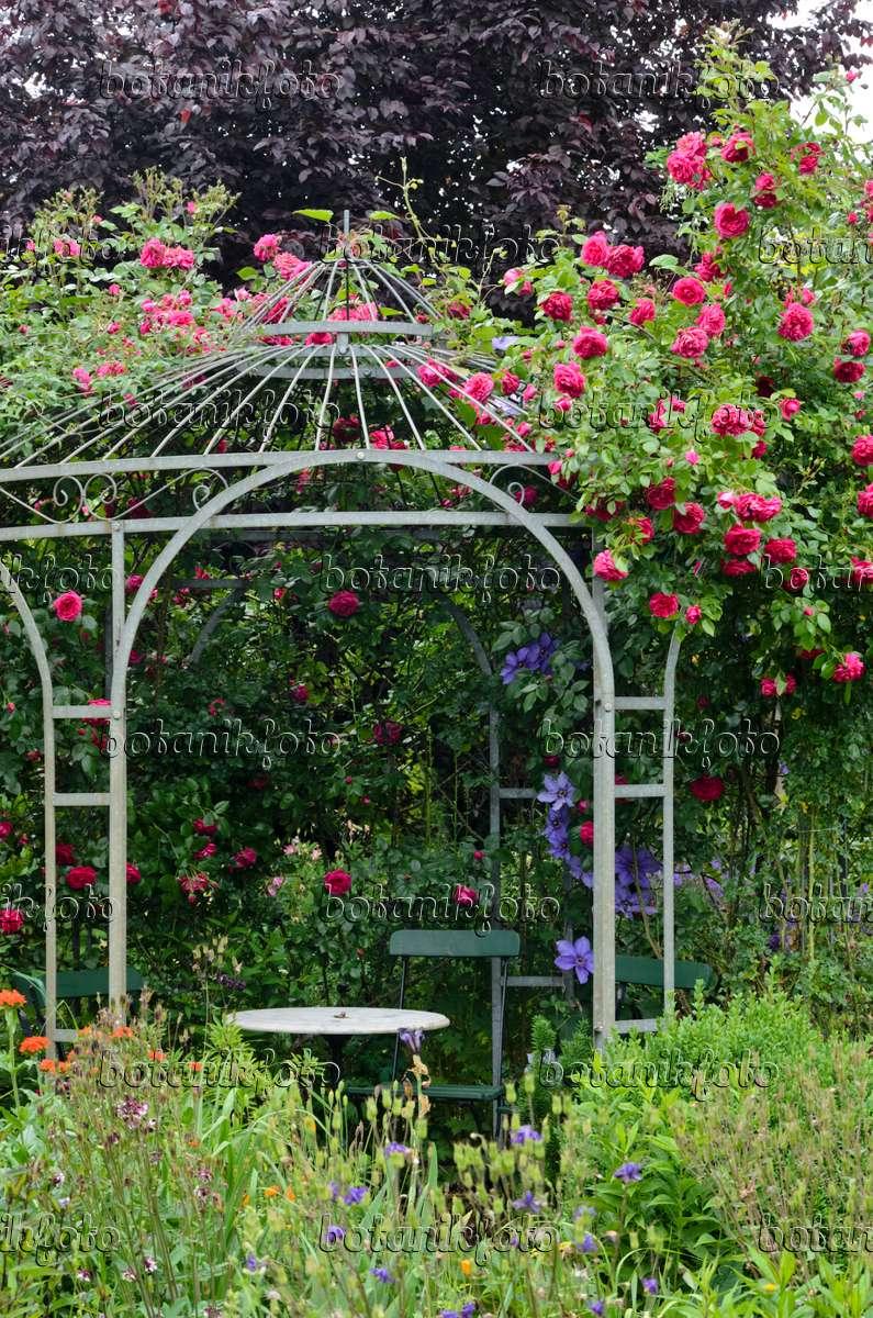 image climbing rose rosa laguna on a garden pavilion 545127 images and videos of plants. Black Bedroom Furniture Sets. Home Design Ideas