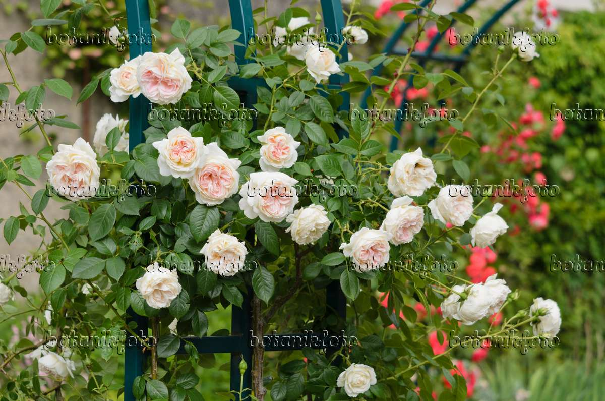521231 climbing rose rosa mon jardin et ma maison - Mon Jardin Ma Maison