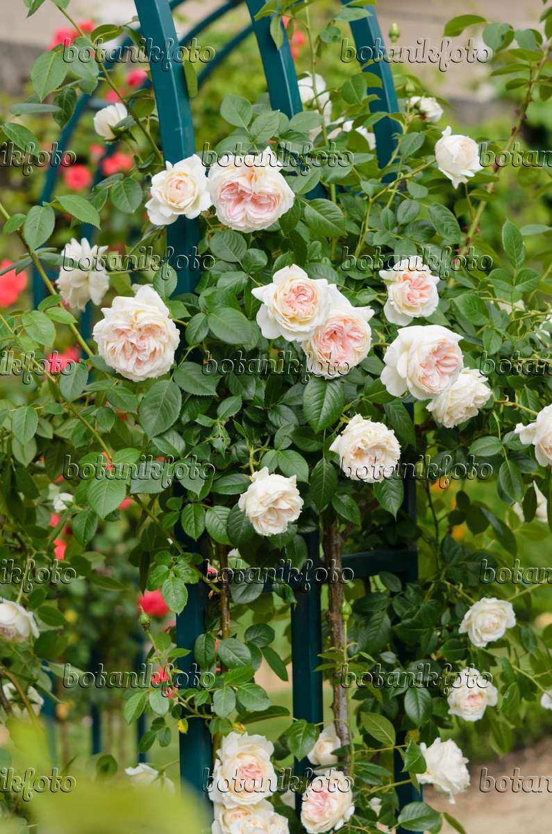 521232 climbing rose rosa mon jardin et ma maison - Mon Jardin Ma Maison