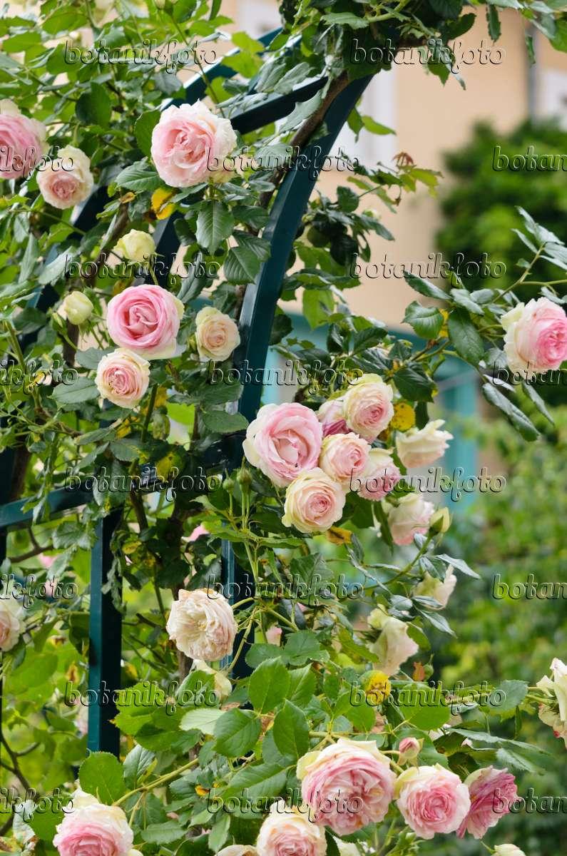 Image climbing rose rosa pierre de ronsard 521230 for Pierre de ronsard rosa