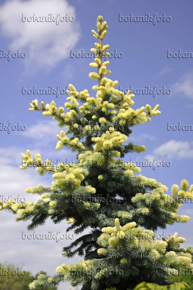image colorado blue spruce picea pungens 39 glauca. Black Bedroom Furniture Sets. Home Design Ideas
