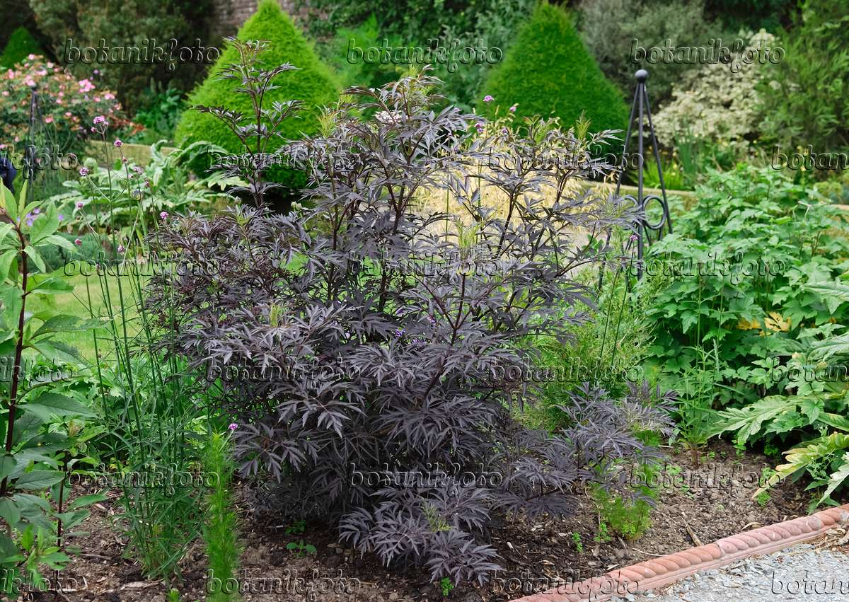image common elder sambucus nigra 39 black lace 39 471459 images and videos of plants and. Black Bedroom Furniture Sets. Home Design Ideas