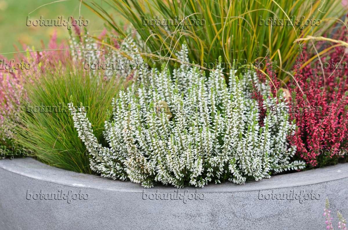 Calluna Vulgaris image common calluna vulgaris garden 525063