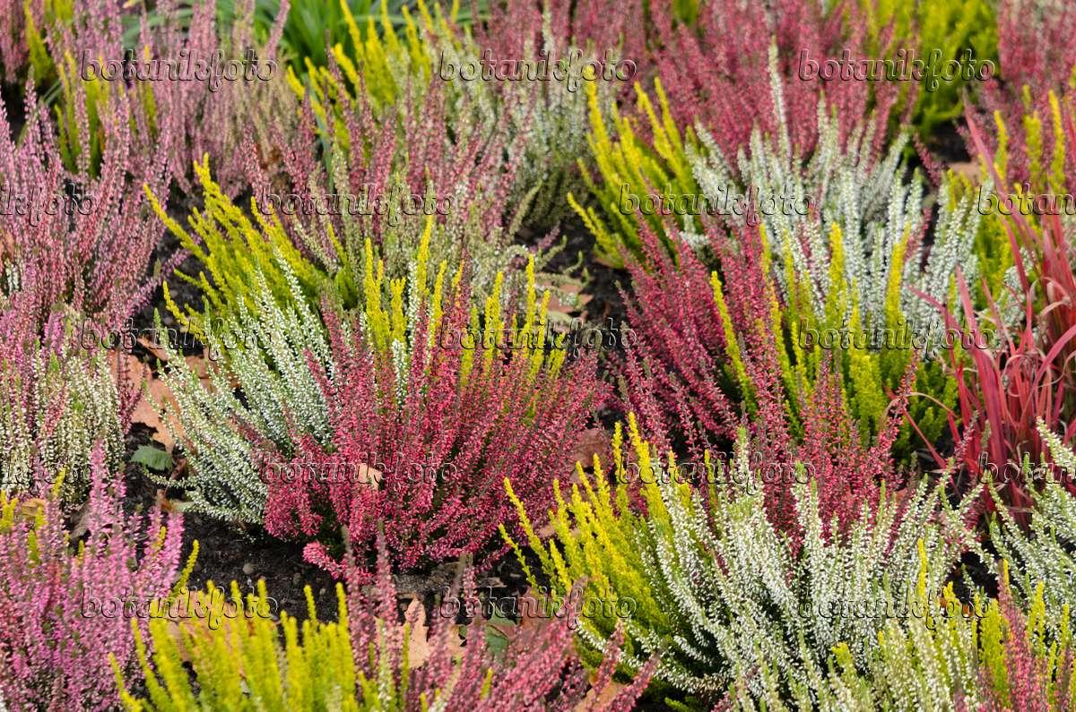 Images calluna images and videos of plants and gardens for Calluna vulgaris