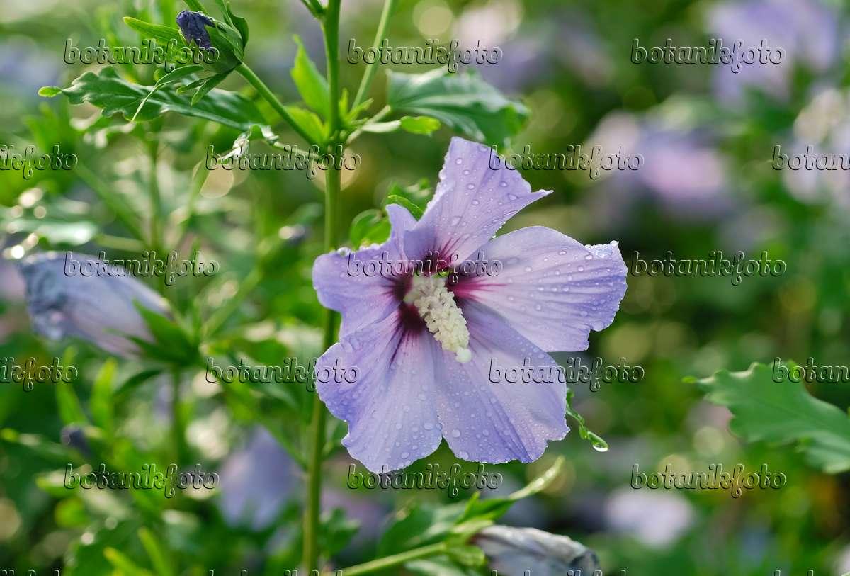 image common hibiscus hibiscus syriacus 39 blue bird. Black Bedroom Furniture Sets. Home Design Ideas