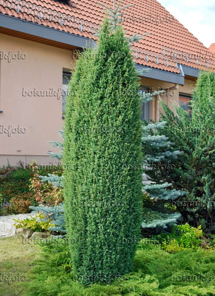 image common juniper juniperus communis 39 hibernica. Black Bedroom Furniture Sets. Home Design Ideas