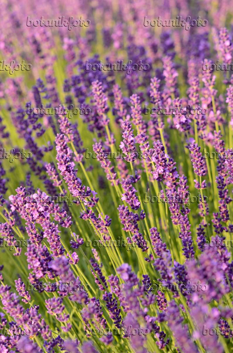lavendel dwarf blue lavendel 39 dwarf blue 39 lavandula. Black Bedroom Furniture Sets. Home Design Ideas