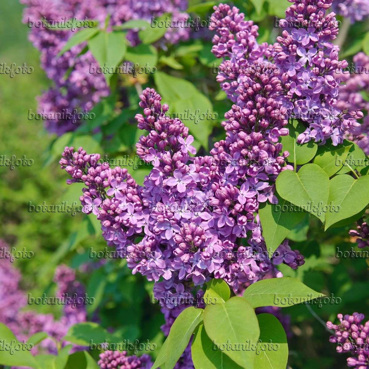 image common lilac syringa vulgaris 39 ruhm von. Black Bedroom Furniture Sets. Home Design Ideas