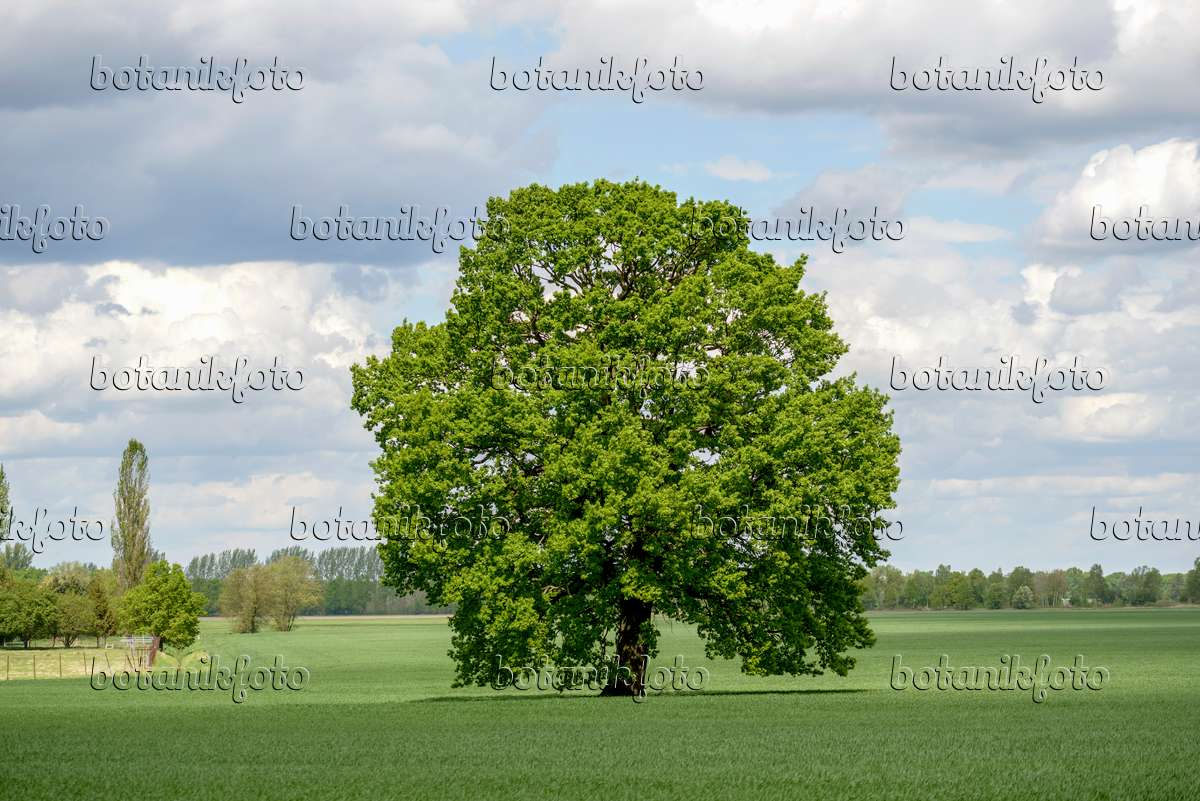 Images Oaks - Images and videos of plants and gardens ...