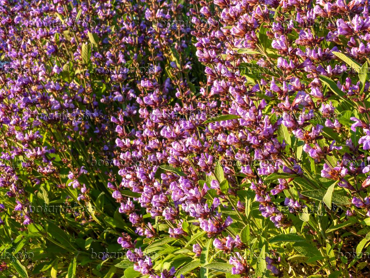 image common sage salvia officinalis 438174 images and videos of plants and gardens. Black Bedroom Furniture Sets. Home Design Ideas