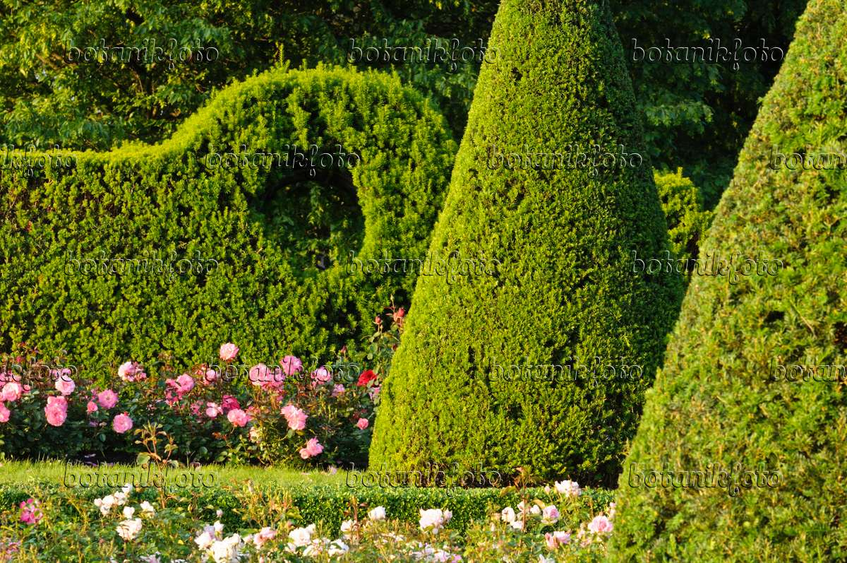 images rose gardens images and videos of plants and gardens botanikfoto. Black Bedroom Furniture Sets. Home Design Ideas