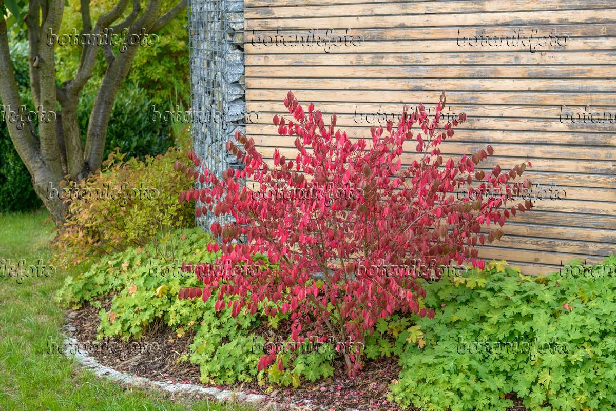 Image Compact Burning Bush Euonymus Alatus Compactus 575095 Images And Videos Of Plants And Gardens Botanikfoto