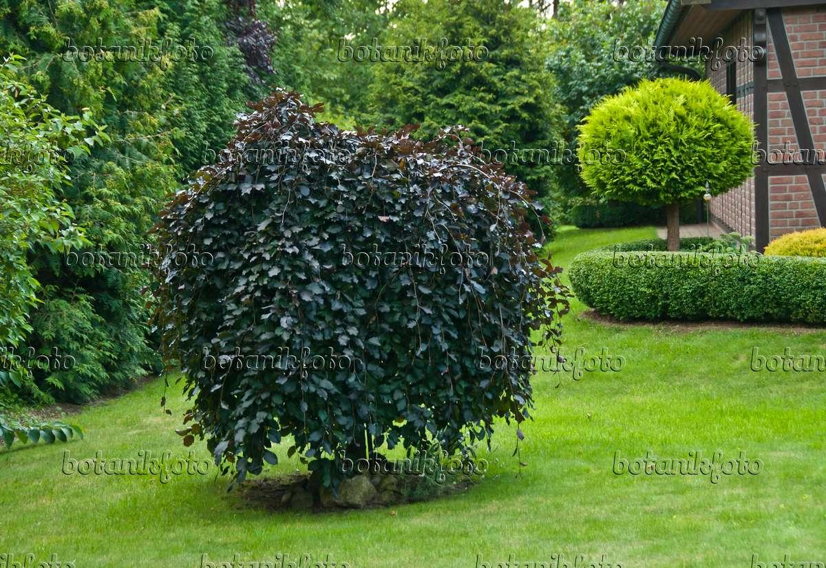 image copper beech fagus sylvatica 39 purpurea pendula. Black Bedroom Furniture Sets. Home Design Ideas