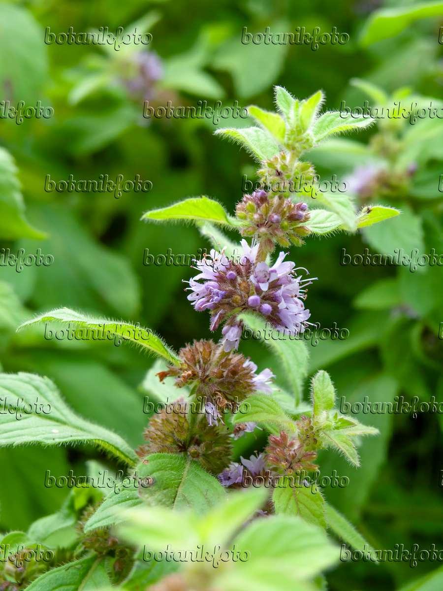 Mentha Arvensis Plants Mint Mentha Arvensis