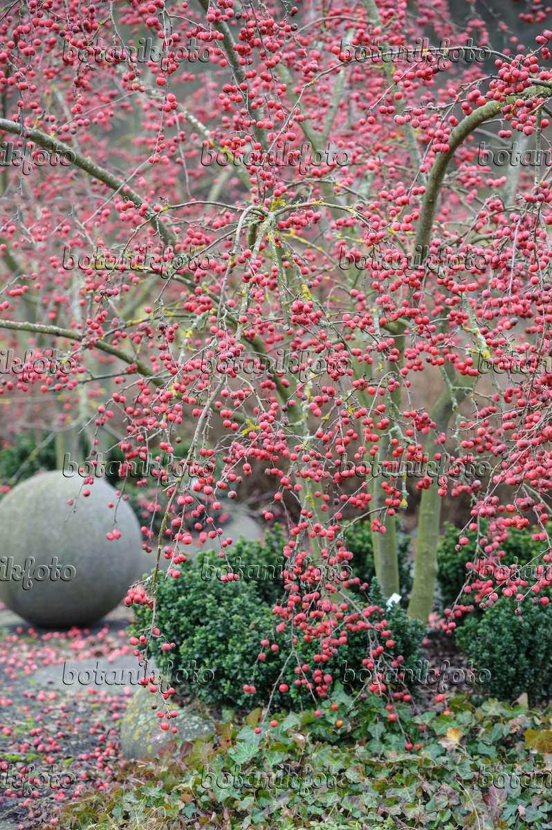 image crab apple malus x robusta 39 red sentinel 39 526119. Black Bedroom Furniture Sets. Home Design Ideas