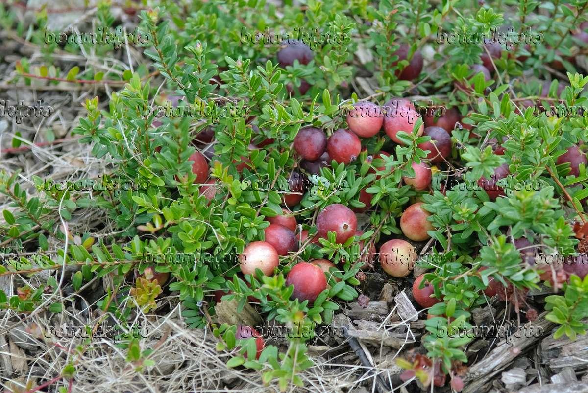 Image cranberry vaccinium macrocarpon 490182 images for Vaccinium macrocarpon