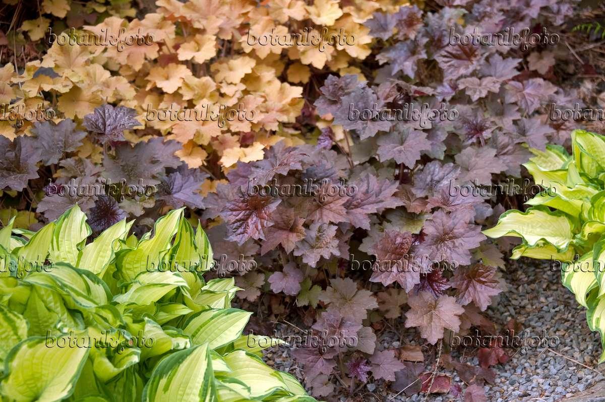 image crevice alumroot heuchera micrantha 39 palace purple. Black Bedroom Furniture Sets. Home Design Ideas