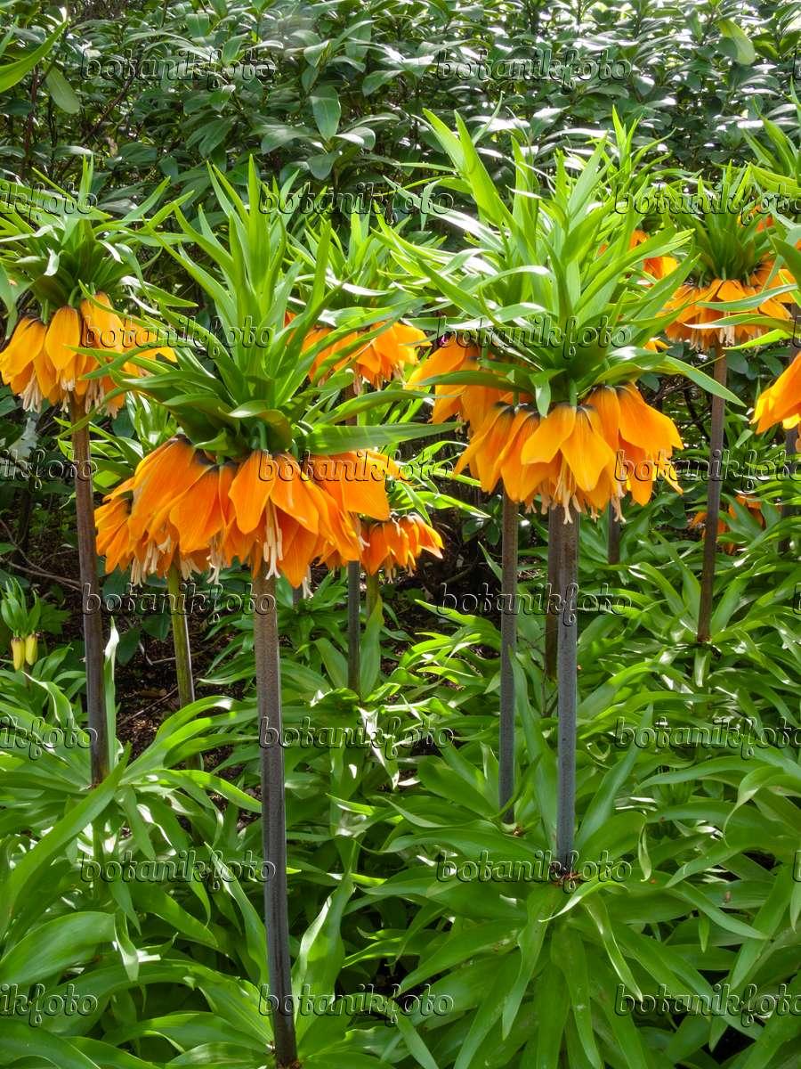 Image Crown imperial Fritillaria imperialis Orange Brillant