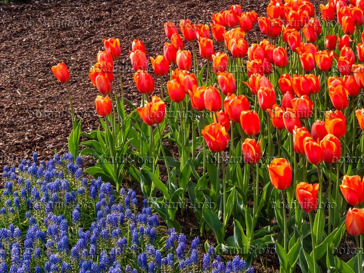 image darwin tulip tulipa lighting sun and grape hyacinth muscari