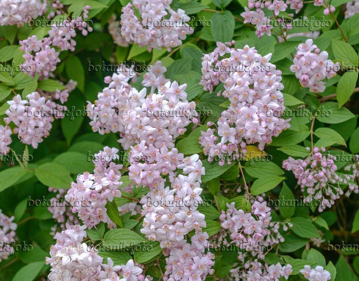 image deutzia x hybrida 39 mont rose 39 558093 images and. Black Bedroom Furniture Sets. Home Design Ideas