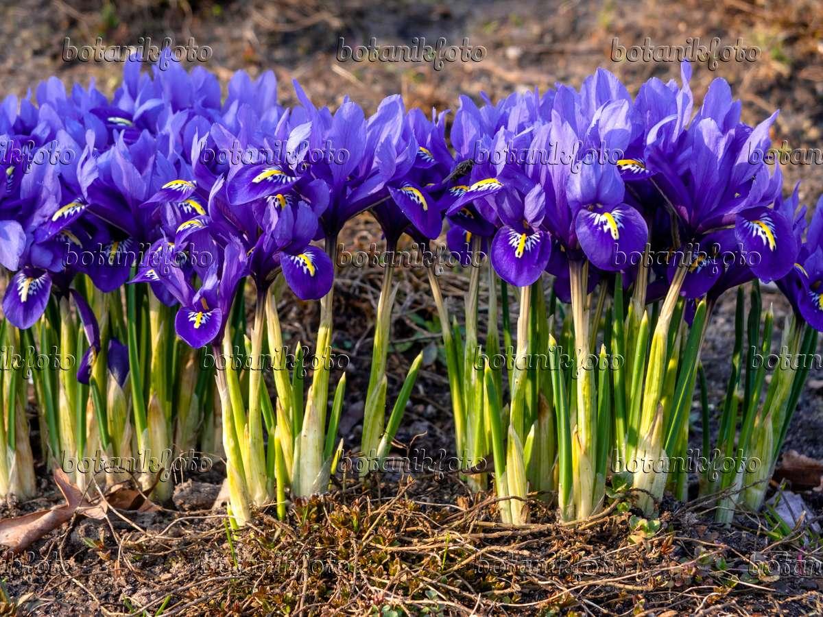 image dwarf iris iris reticulata 436087 images and. Black Bedroom Furniture Sets. Home Design Ideas