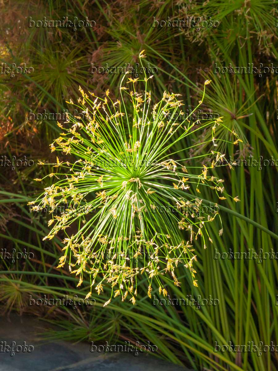 406053 Dwarf Papyrus Cyperus Prolifer
