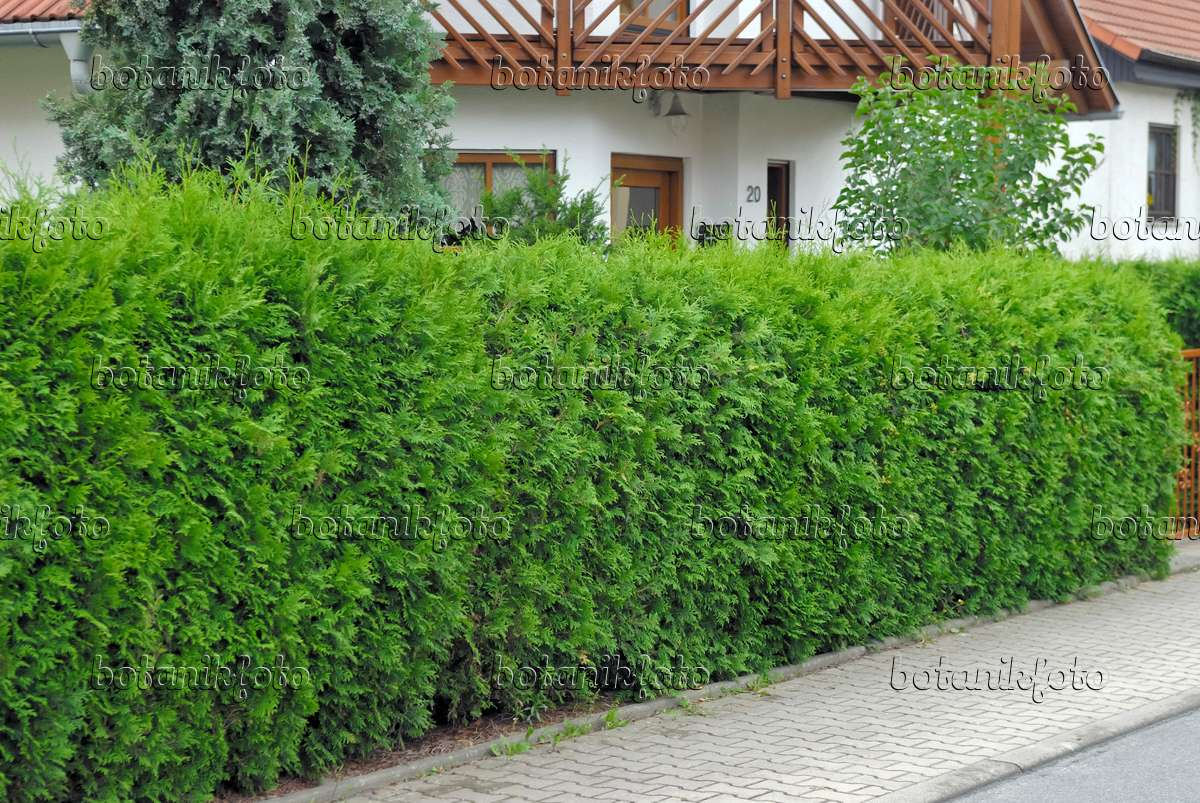 image eastern arborvitae thuja occidentalis 39 brabant 39 471466 images and videos of plants. Black Bedroom Furniture Sets. Home Design Ideas