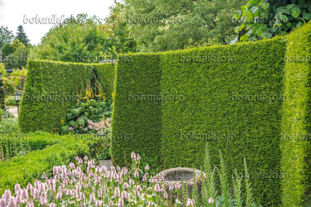 image eastern arborvitae thuja occidentalis 39 brabant 39 558250 images and videos of plants. Black Bedroom Furniture Sets. Home Design Ideas