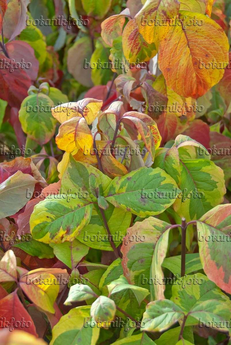 Image eastern flowering dogwood cornus florida 39 rainbow - Cornus florida rainbow ...