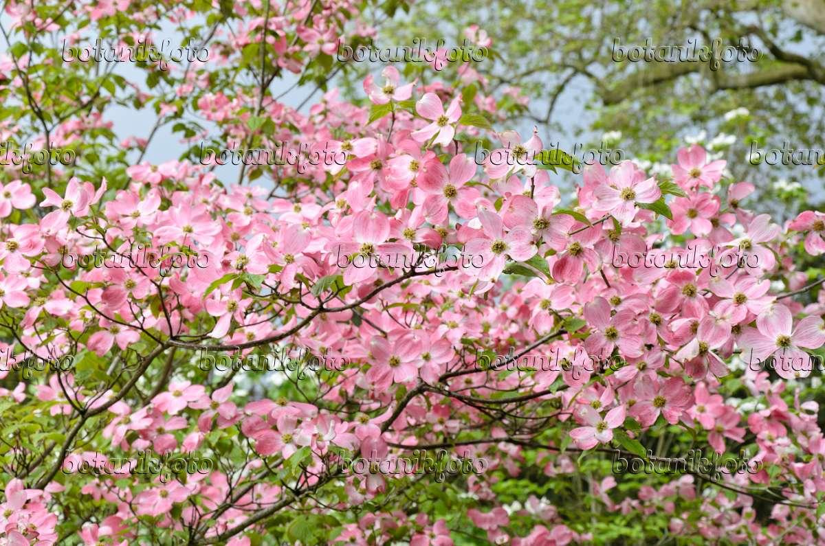 image eastern flowering dogwood cornus florida 39 rubra. Black Bedroom Furniture Sets. Home Design Ideas