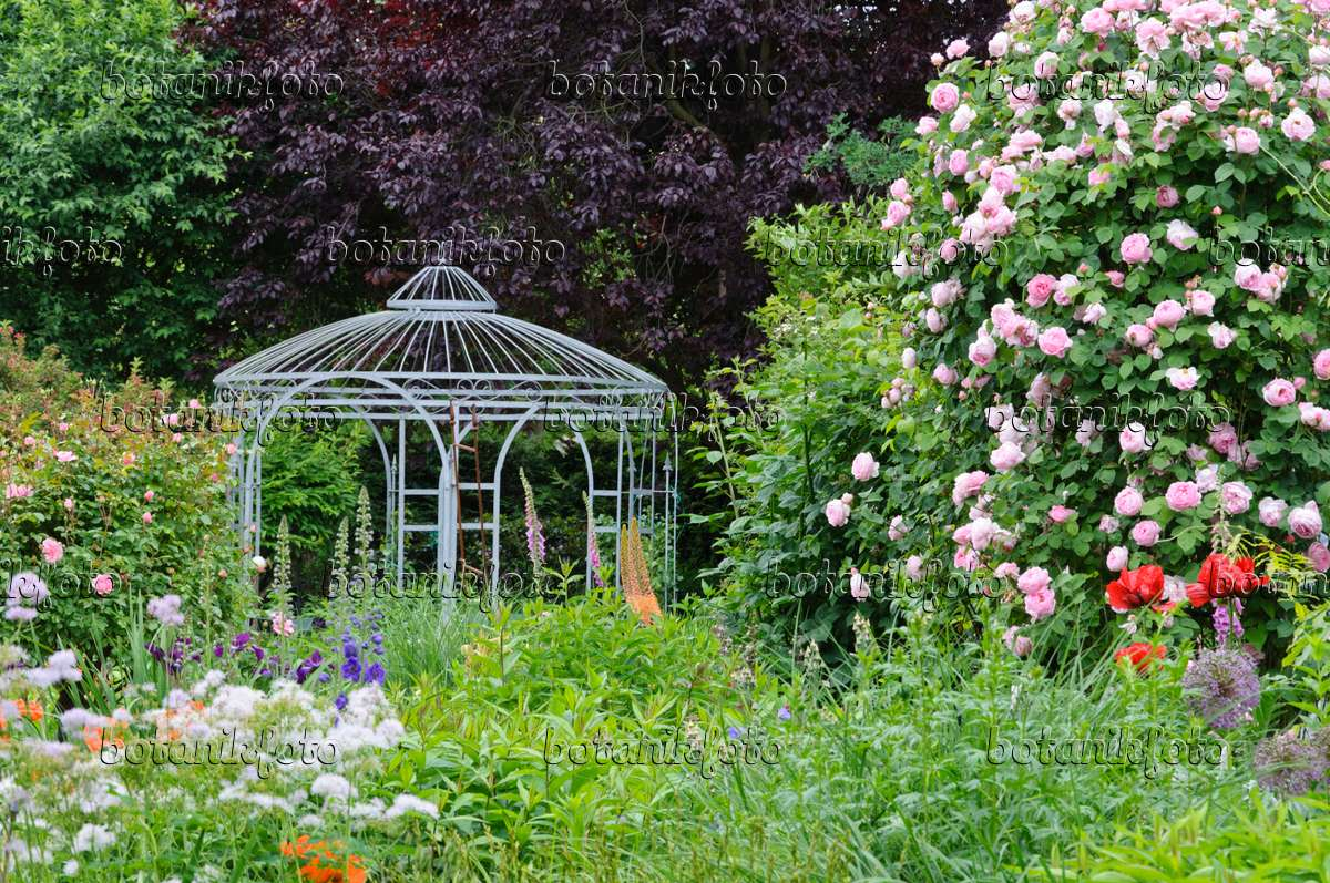 473113   English Rose (Rosa Constance Spry) With Garden Pavilion