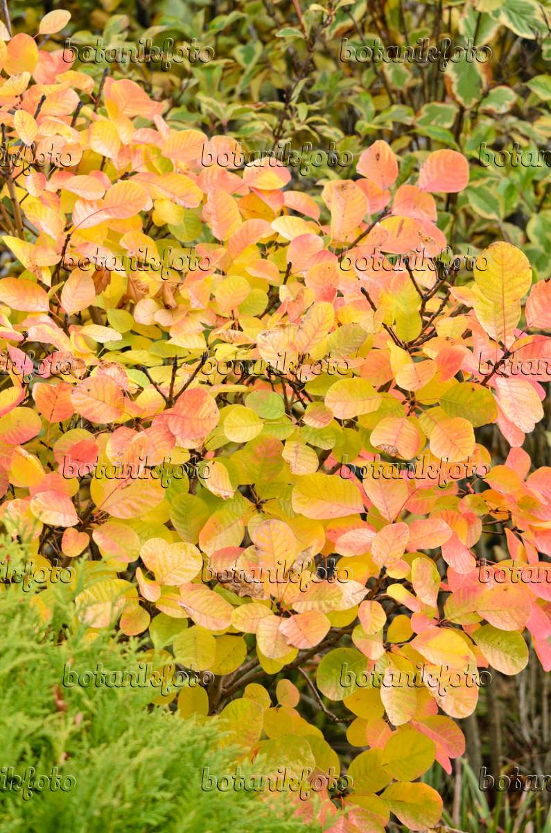 Yellow Smoke Tree 525330 Eurasian Smoke Tree