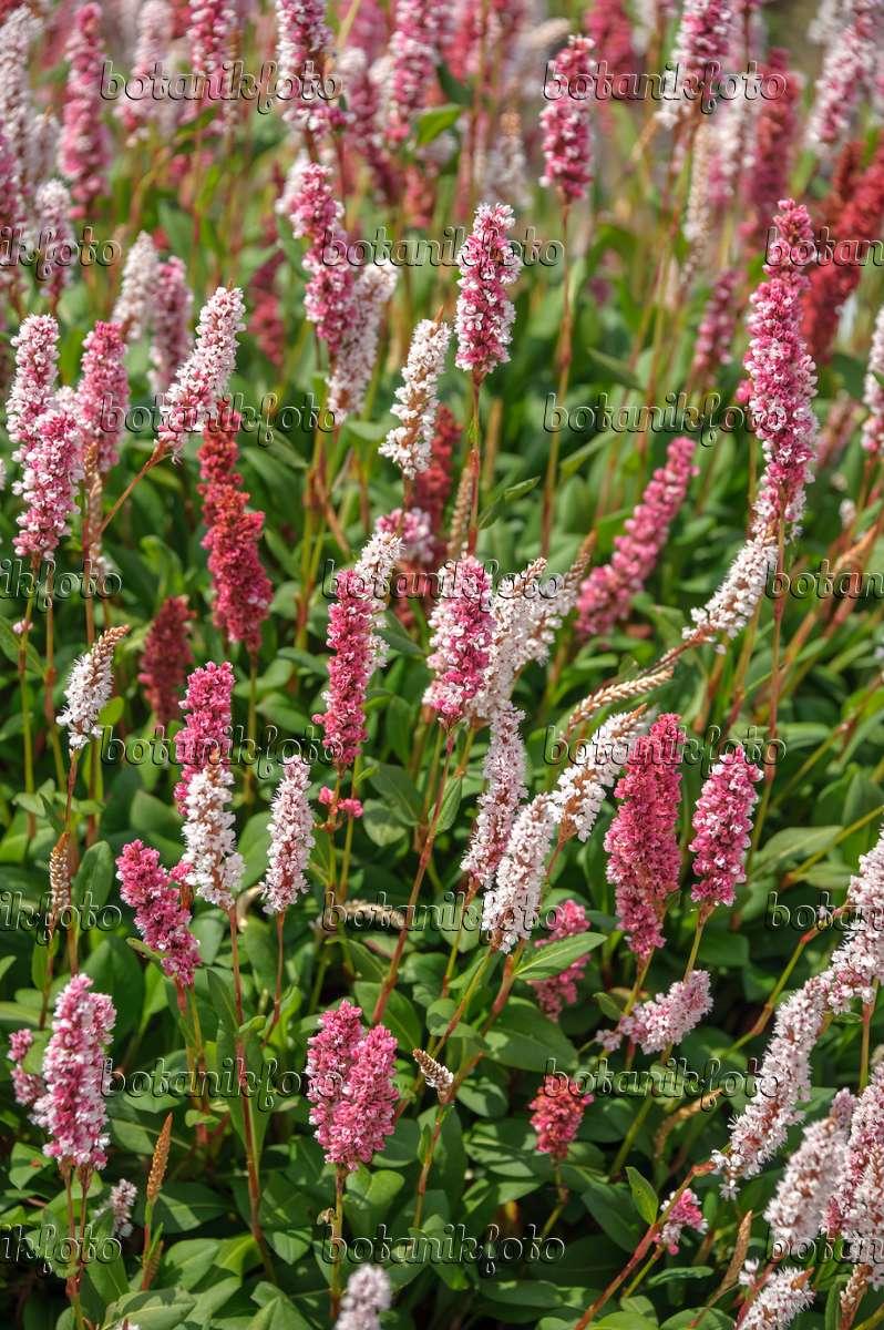 575178 - Fleece flower (Bistorta affinis 'Superba' syn. Polygonum affine 'Superba