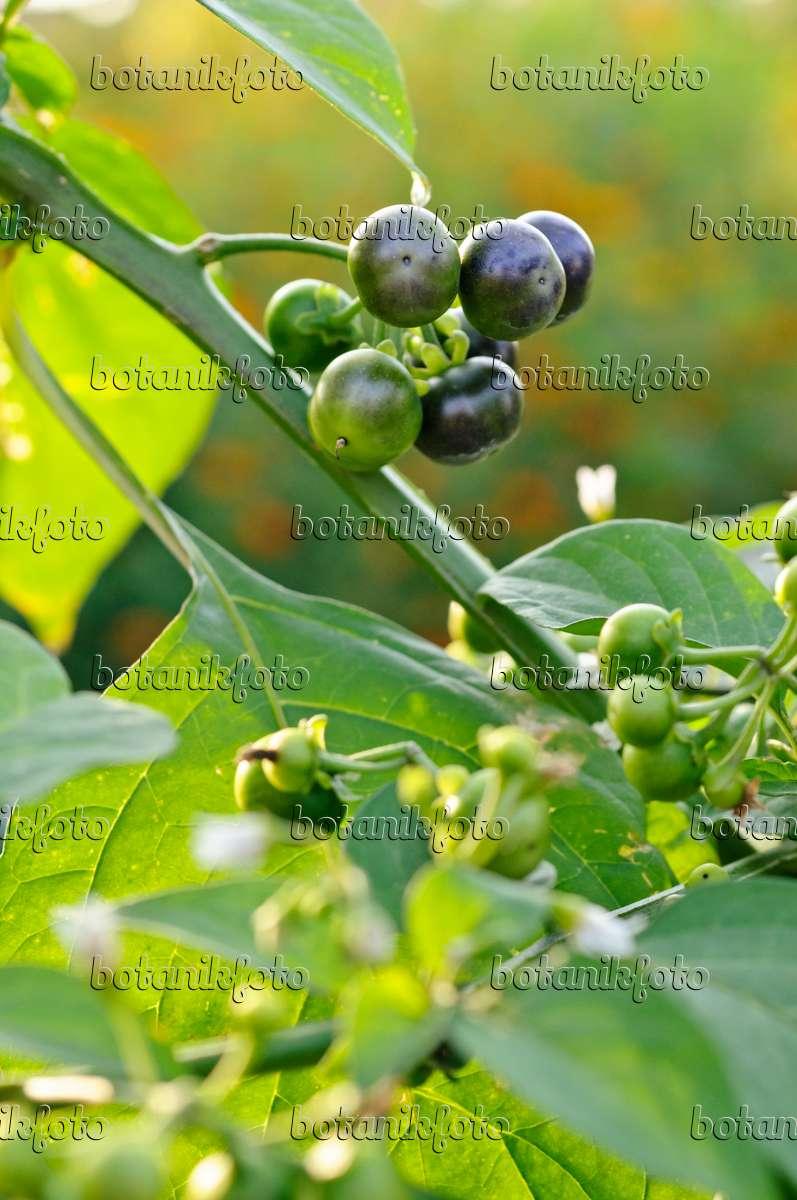Image Garden huckleberry (Solanum melanocerasum) - 475210 - Images ...