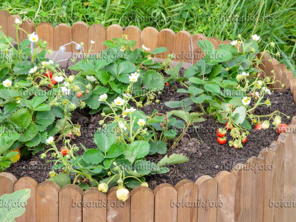 Image Garden Strawberry Fragaria X Ananassa In A Raised