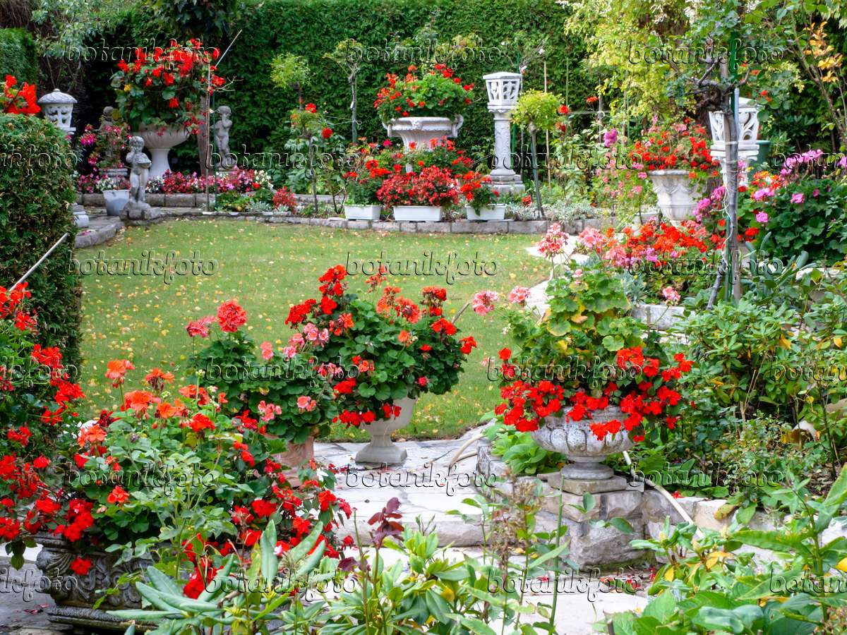 Image Garden With Pelargoniums Pelargonium 477136 Images And