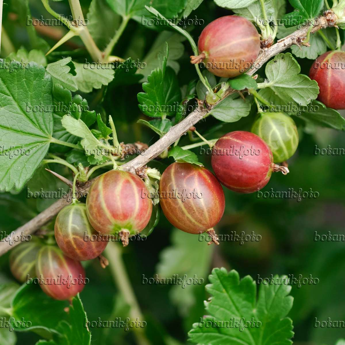 image gooseberry ribes uva crispa 39 redeva 39 454086 images and videos of plants and gardens. Black Bedroom Furniture Sets. Home Design Ideas