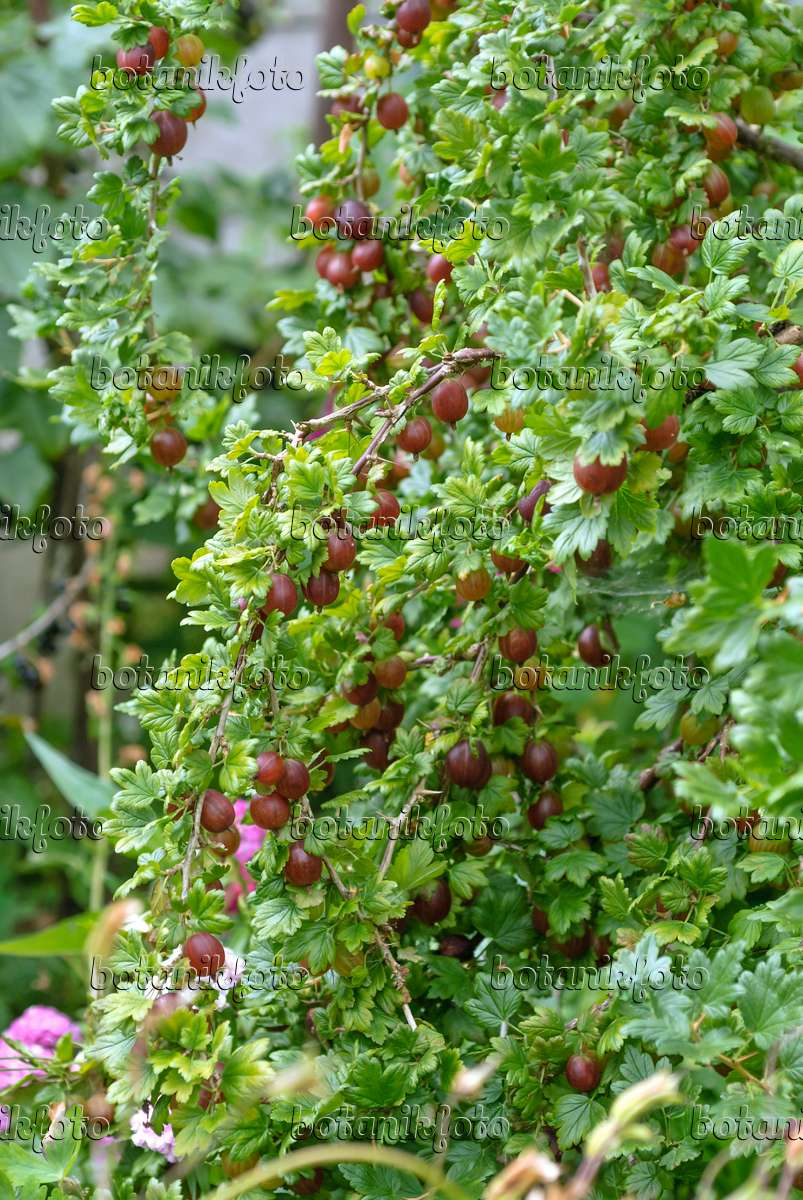 image gooseberry ribes uva crispa 39 remarka 39 517377 images and videos of plants and gardens. Black Bedroom Furniture Sets. Home Design Ideas