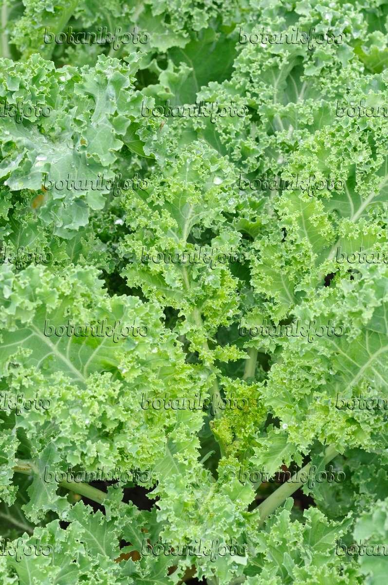 image green cabbage brassica oleracea var sabellica. Black Bedroom Furniture Sets. Home Design Ideas
