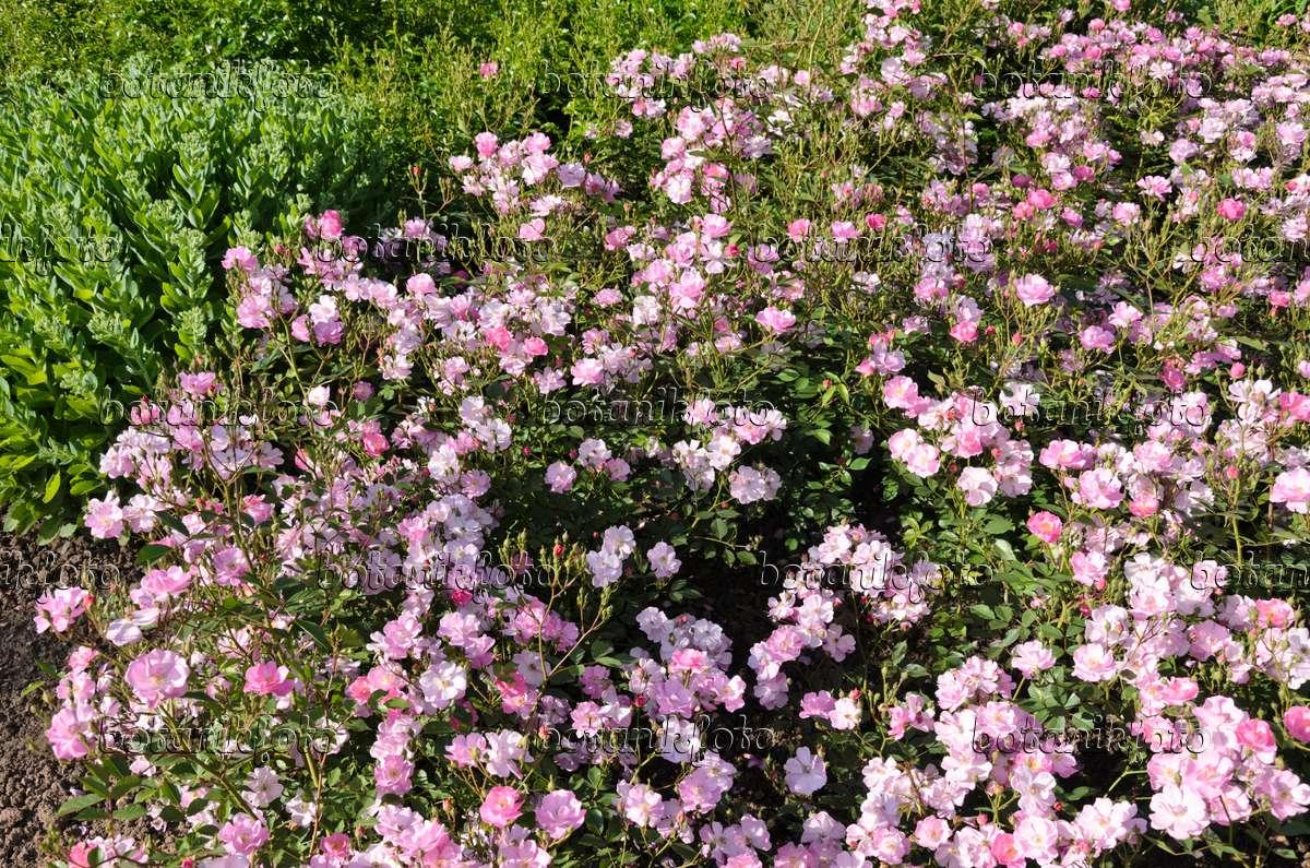 image ground cover rose rosa lavender dream 521281. Black Bedroom Furniture Sets. Home Design Ideas