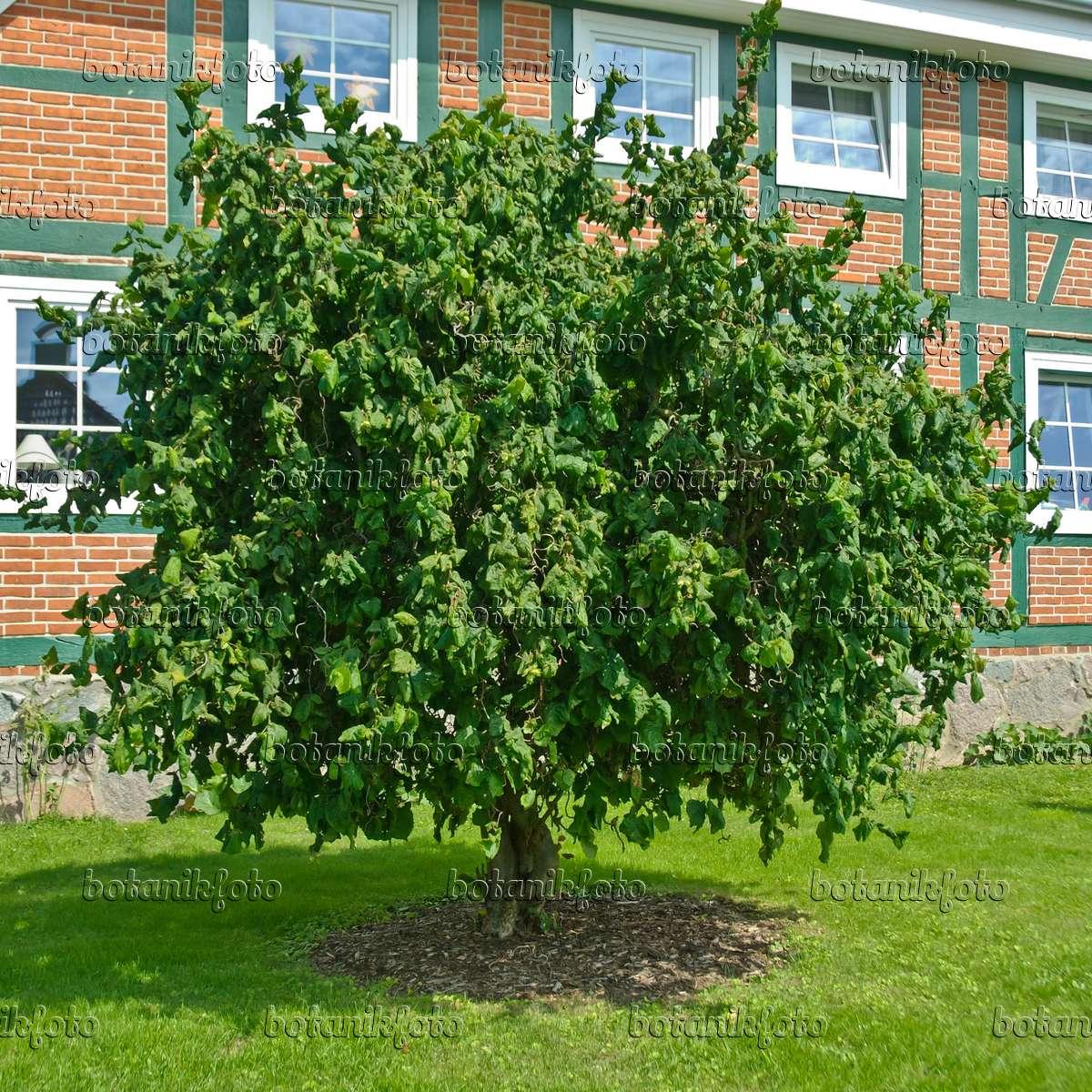 Harry lauder walking stick trees - 517164 Harry Lauder S Walking Stick Corylus Avellana Contorta
