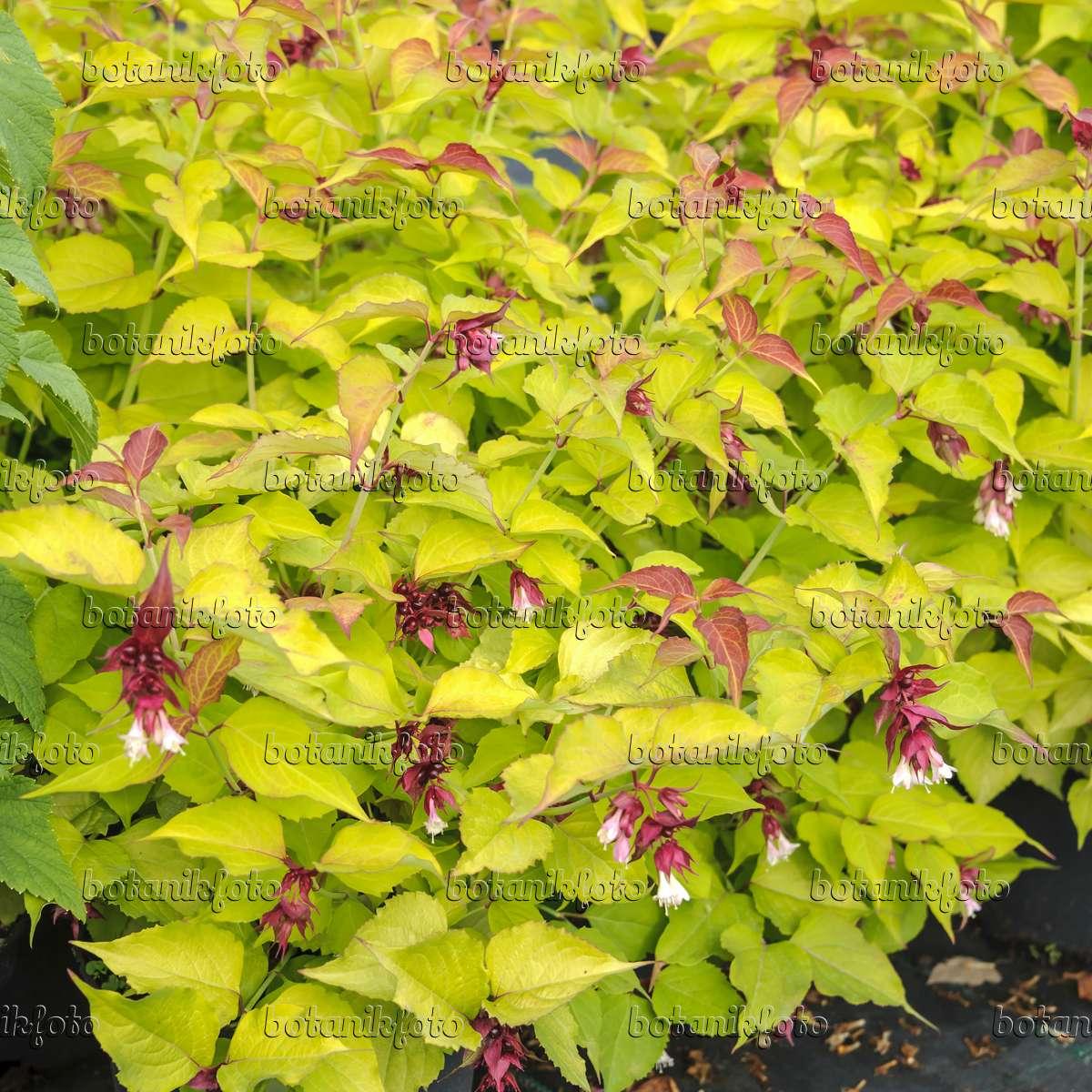 image himalayan honeysuckle leycesteria formosa golden lanterns 535288 images and