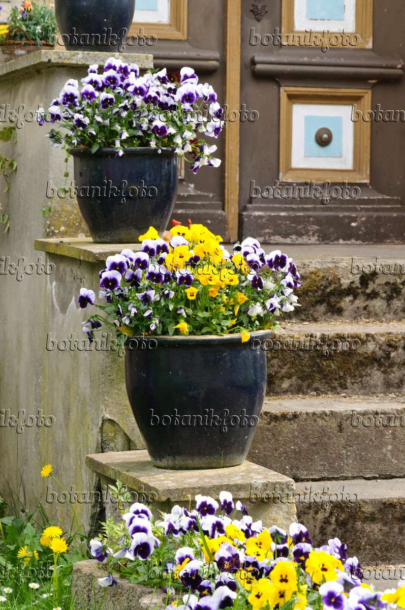 Image House entrance with violets in tubs - 471275 - Images and videos of plants and gardens ...